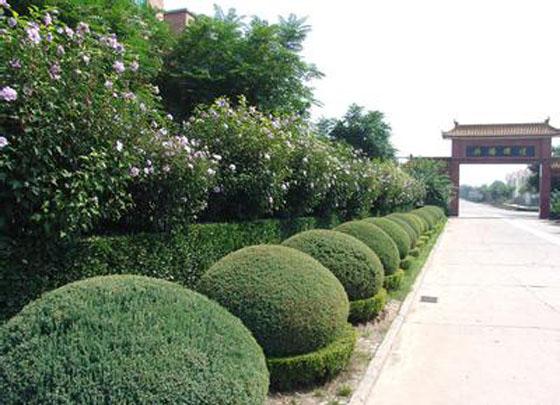 园林绿化艺术设计——园房屋球型7x11米农村v房屋图片